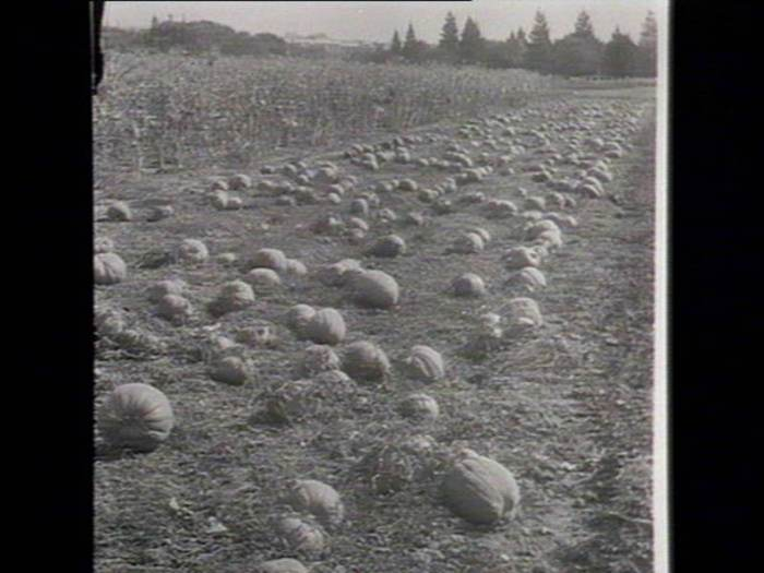Pumpkins at Bathurst. Image courtesy of the State Library of New South Wales.