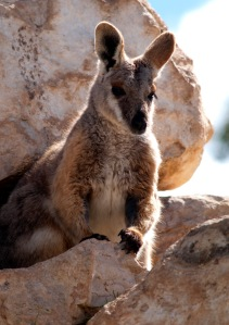 Rock Wallaby in Rocks. By Bilby (Own work) [CC-BY-3.0 (http://creativecommons.org/licenses/by/3.0)], via Wikimedia Commons