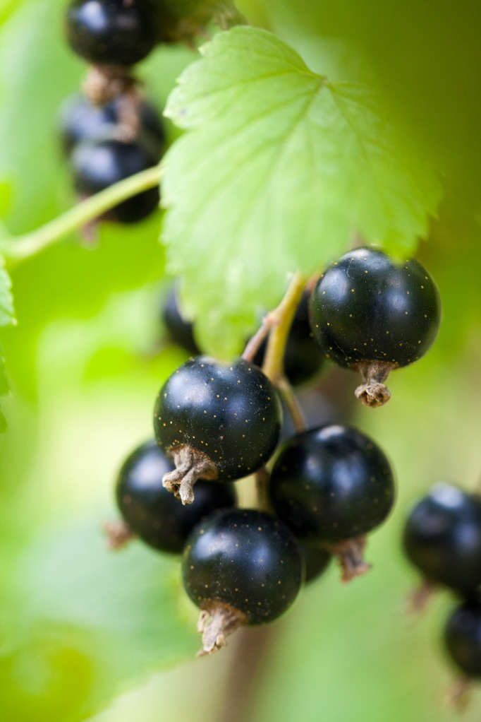 Ribes currants. By Petr Kratochvil [Public domain], via Wikimedia Commons